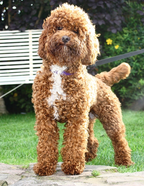Miniature labradoodle adults