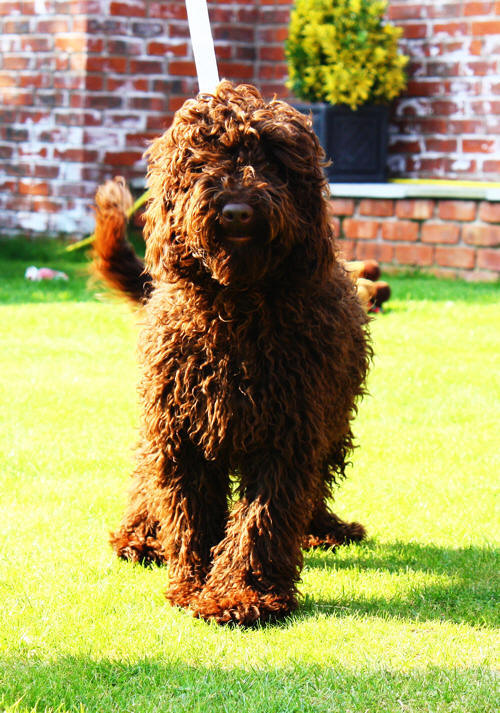 Labradoodle puppy-labradoodle puppies for sale,labradoodle breeder,labradoodle breeders, labradoodles uk, Australian labradoodle breeder,Australian labradoodle breeders,Australian labradoodle puppies for sale, Australian labradoodles. Holland,london,essex,france, labradoodle forums.